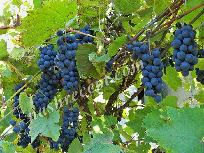 виноград для приготовления сока - vinograd dlya prigotovleniya soka
